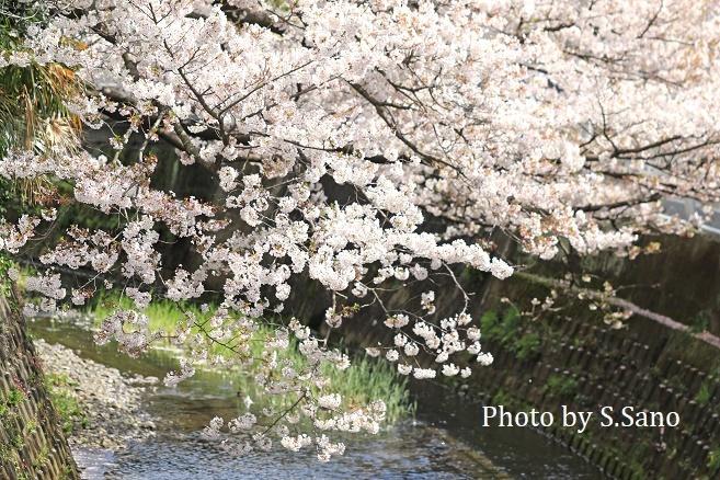 侍従川の桜(2020年4月)_b0348205_17053800.jpg
