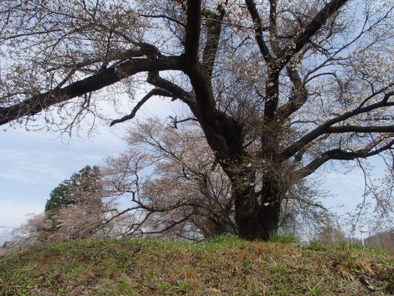意外に遅い桜の開花_f0064906_15301632.jpg