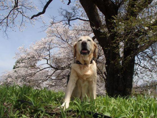 意外に遅い桜の開花_f0064906_15301920.jpg