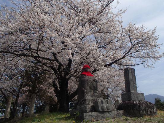 意外に遅い桜の開花_f0064906_15302324.jpg