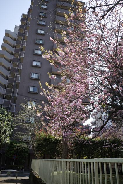 04.03 穏やかな日差しと桜_a0390712_21155998.jpg