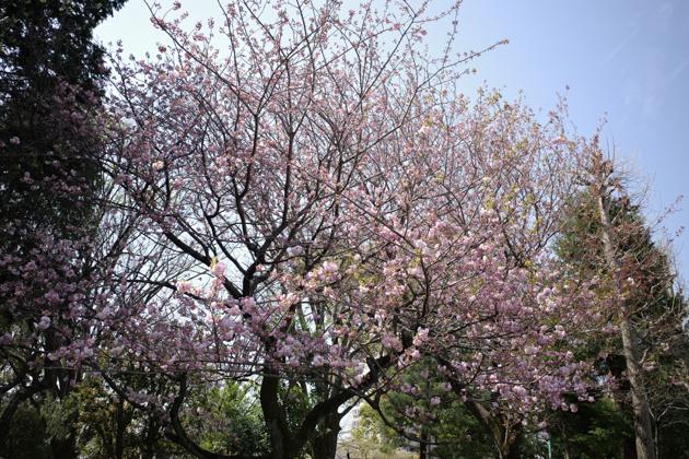 04.03 穏やかな日差しと桜_a0390712_21163135.jpg