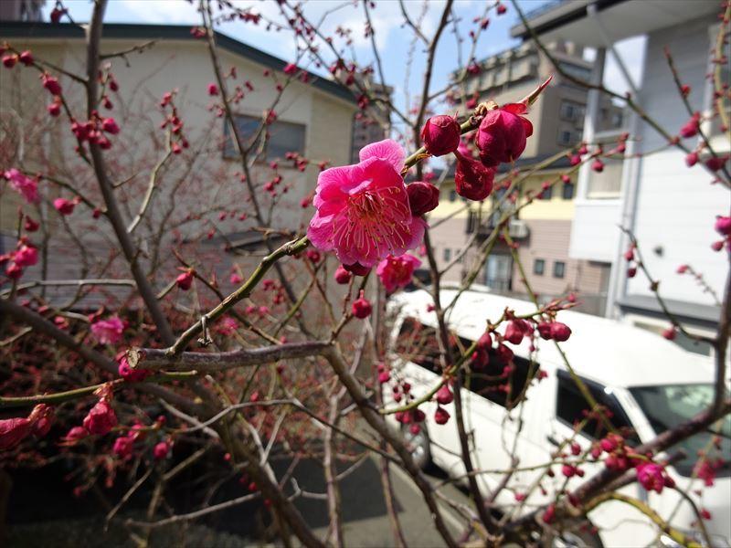梅の花 開花が進みました!_f0105112_17390135.jpg