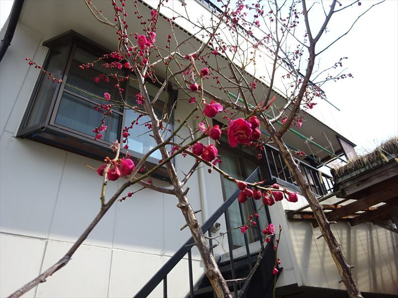 梅の花 開花が進みました!_f0105112_17390155.jpg