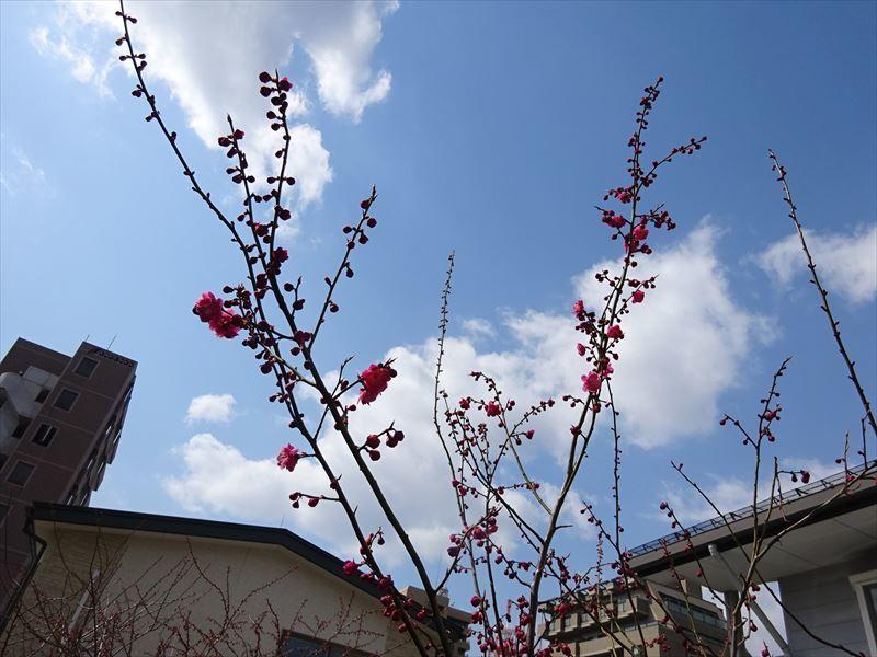 梅の花 開花が進みました!_f0105112_17390167.jpg