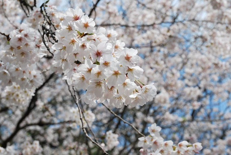 桜_f0067122_08022540.jpg