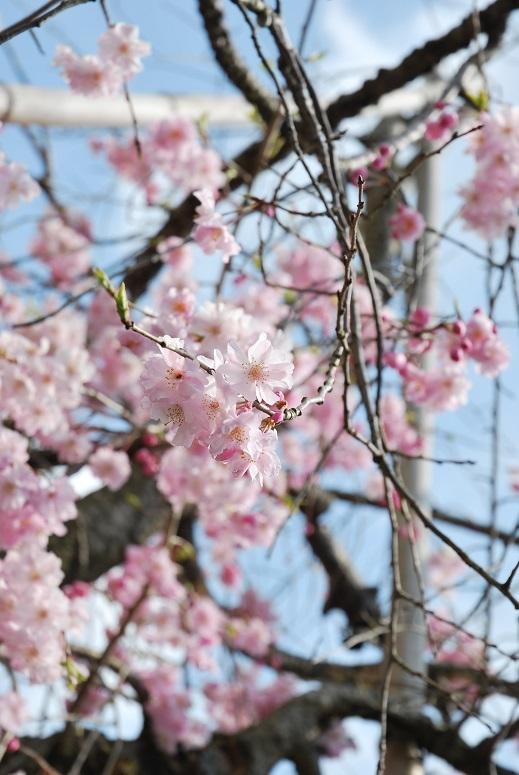 桜_f0067122_08022555.jpg