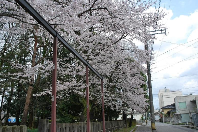 桜_f0067122_08025023.jpg