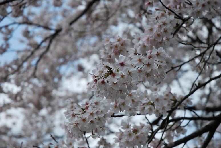 桜_f0067122_08025030.jpg