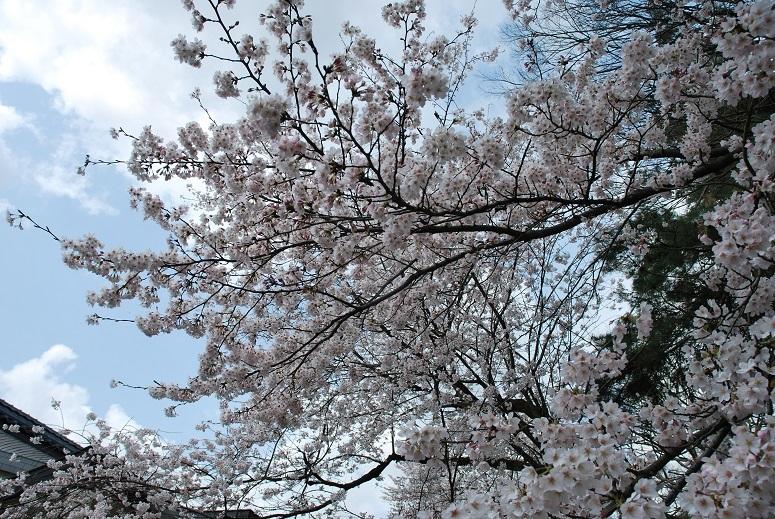 桜_f0067122_08025096.jpg