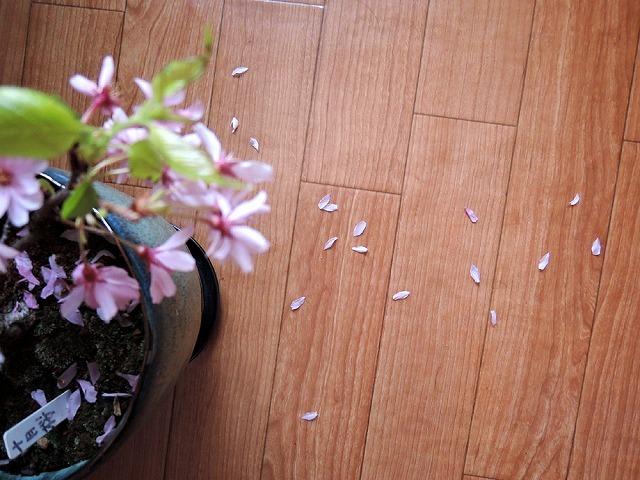 アイブラックリバーの桜 2020_c0062832_14395349.jpg