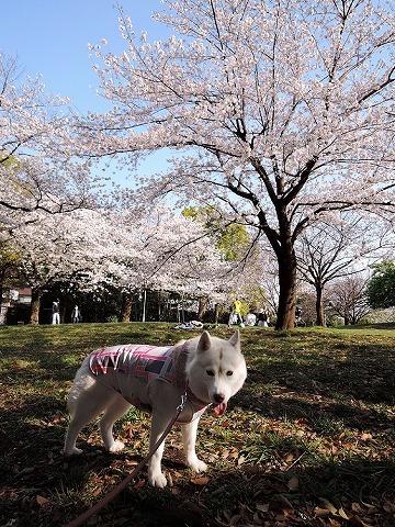 アイブラックリバーの桜 2020_c0062832_14395378.jpg