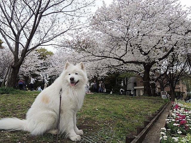 アイブラックリバーの桜 2020_c0062832_14411627.jpg