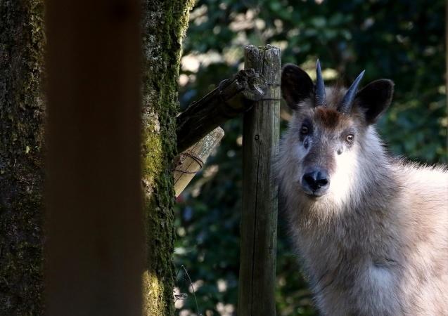 カモシカの語源はカモ + シカ(鹿)で、カモの語源には諸説ある_b0346933_11502491.jpg
