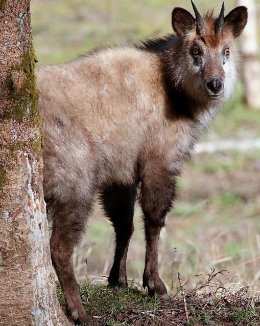 カモシカの語源はカモ + シカ(鹿)で、カモの語源には諸説ある_b0346933_11502890.jpg