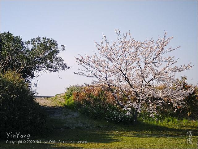 ビーチアクセスの桜、千葉_e0139738_08191703.jpg