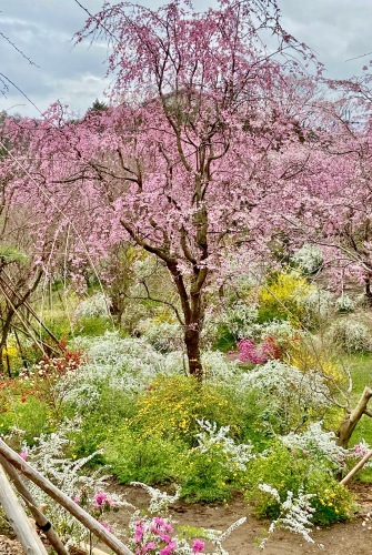 秘密の花園「原谷苑」_b0325640_15345747.jpg
