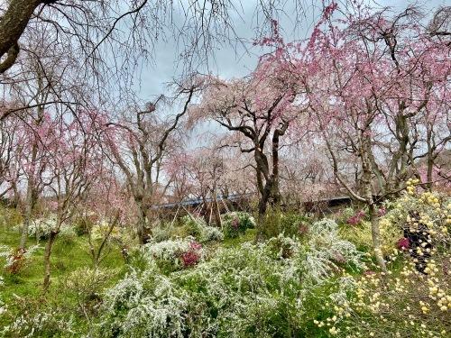 秘密の花園「原谷苑」_b0325640_16164902.jpg