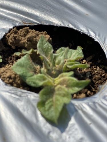 今年はじゃが芋の発芽  定植17日目_c0222448_16531373.jpeg