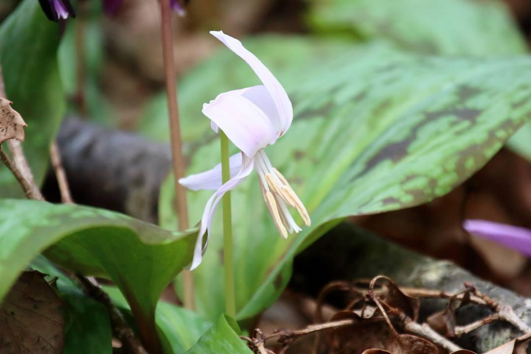 白花カタクリ、ギフチョウ_e0403850_20084279.jpg