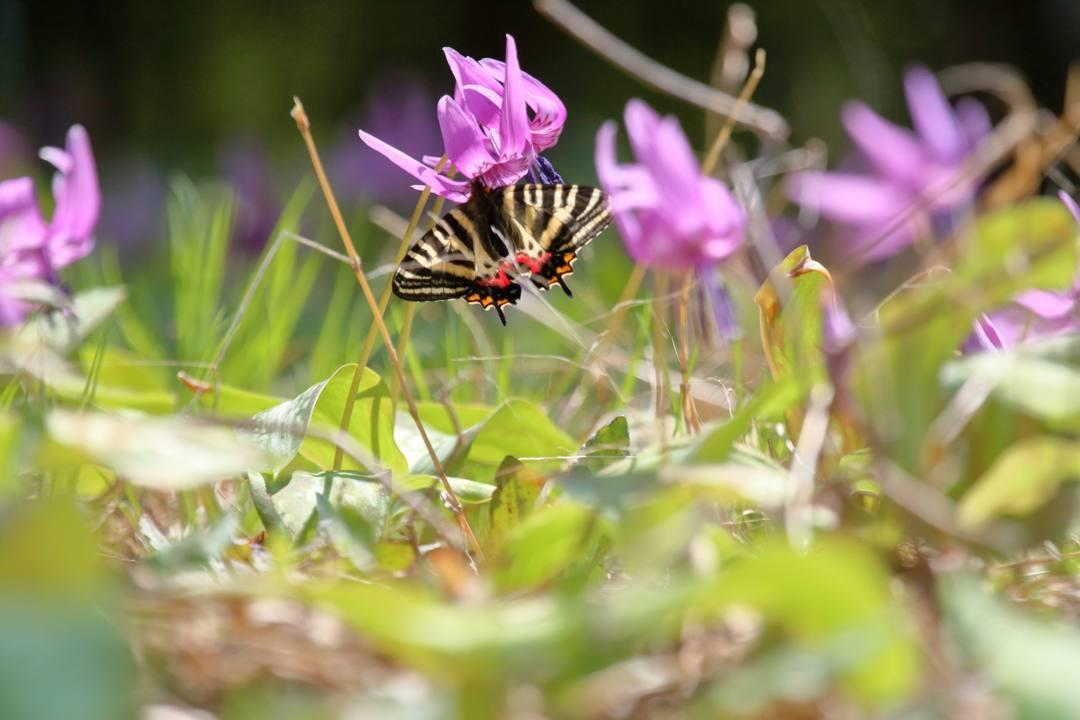 白花カタクリ、ギフチョウ_e0403850_20092804.jpg