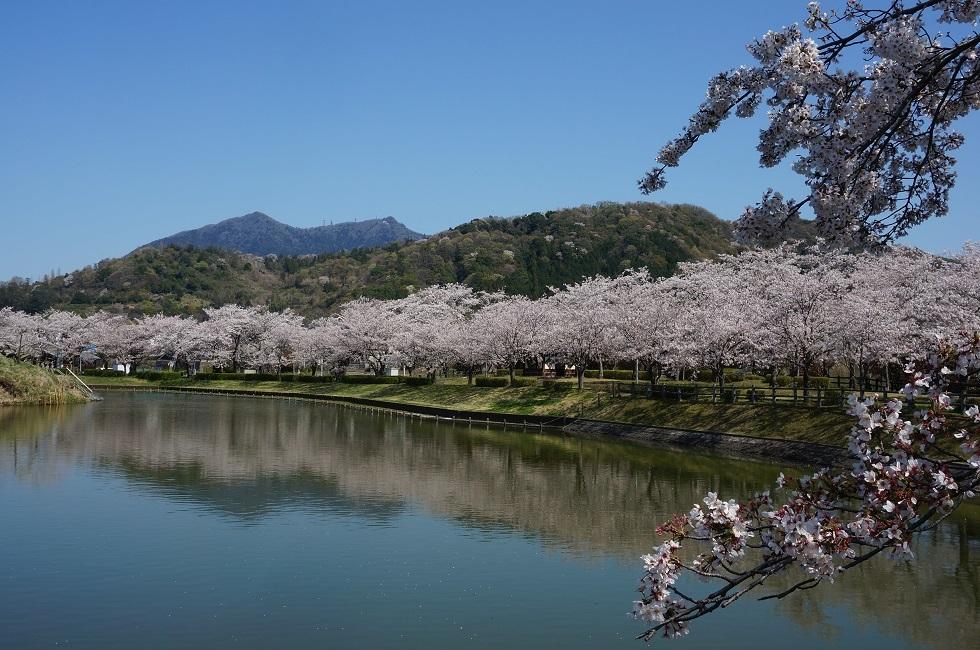 北条大池の桜が満開です。_b0124462_16063718.jpg