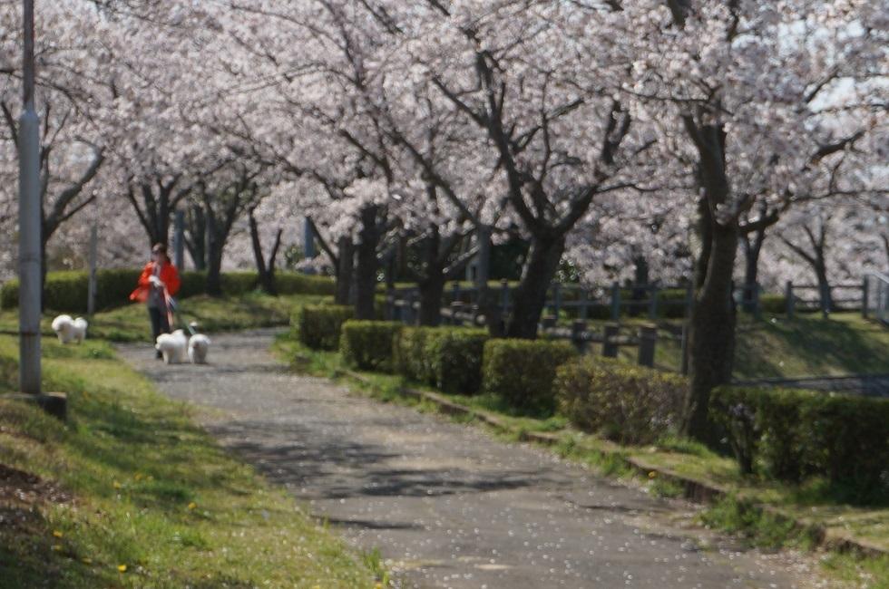 北条大池の桜が満開です。_b0124462_16065094.jpg