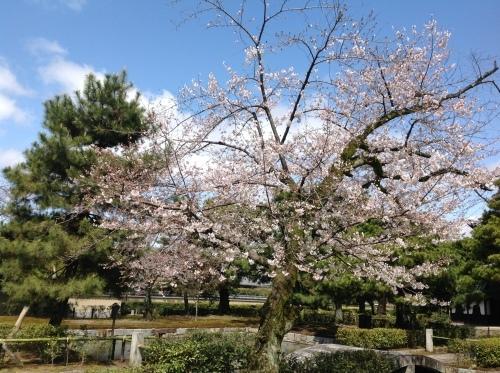京都桜たより 2020_b0153663_14095391.jpeg