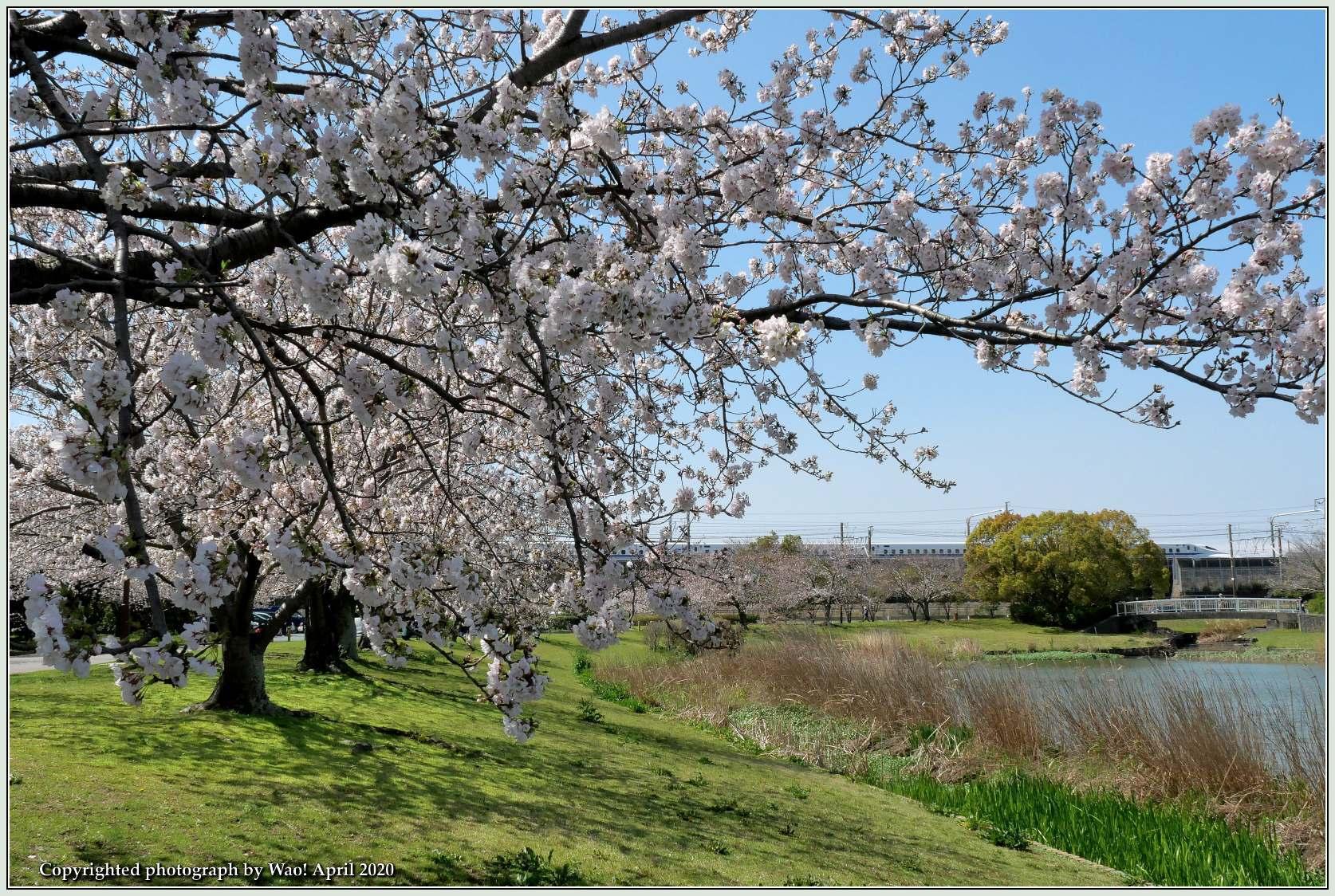 桜新幹線と在来線が行ったり来たり_c0198669_17403469.jpg
