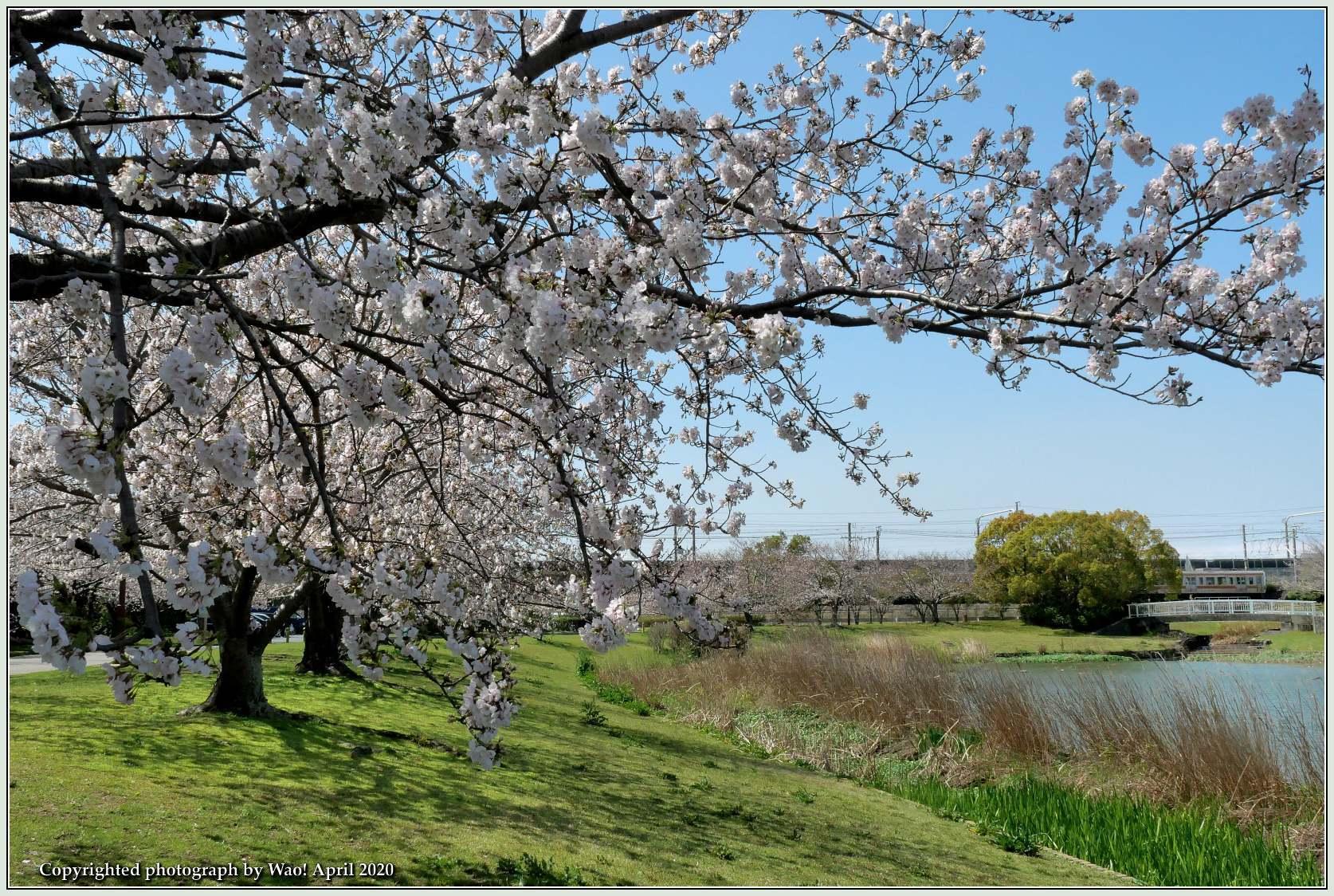 桜新幹線と在来線が行ったり来たり_c0198669_17403686.jpg