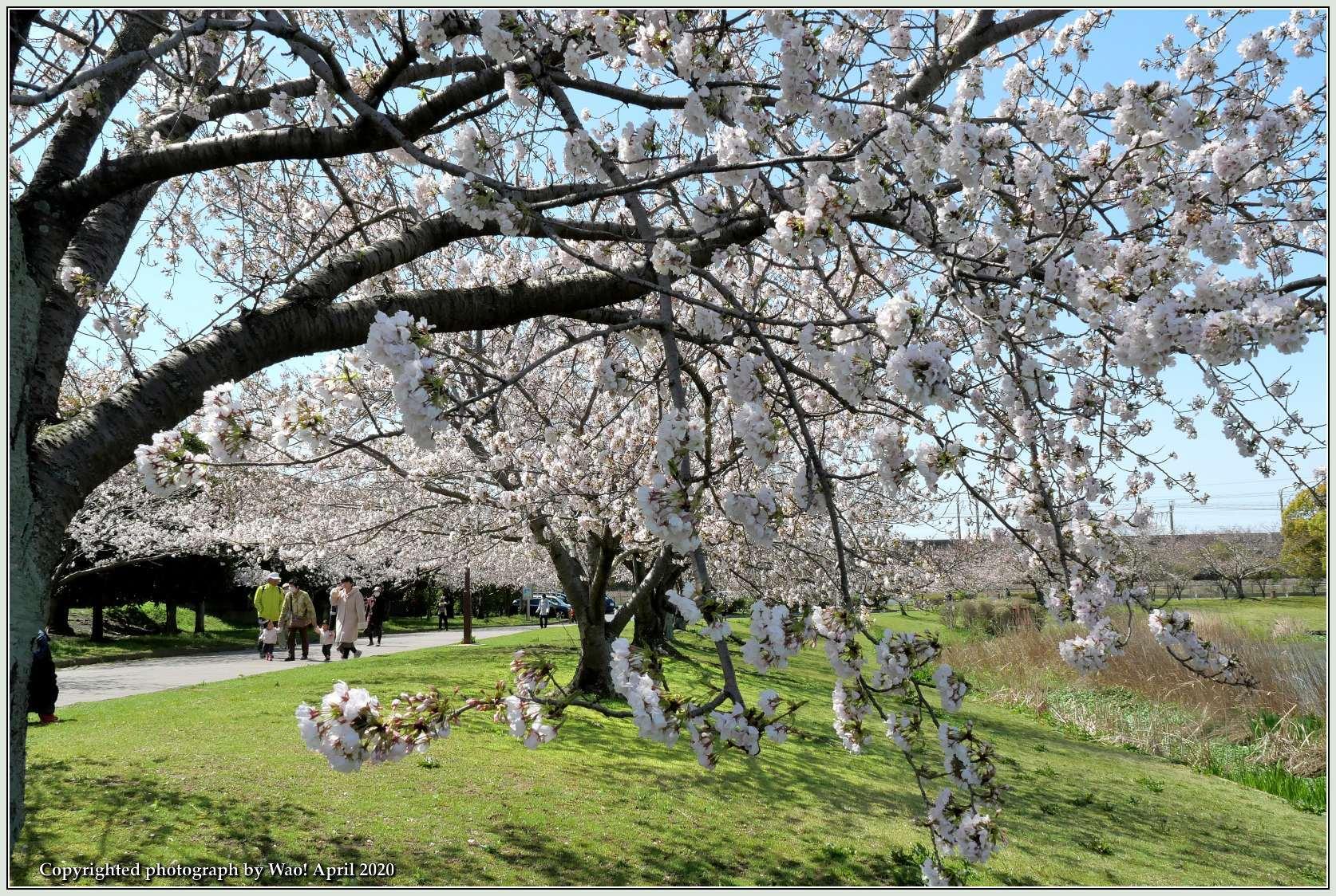 桜新幹線と在来線が行ったり来たり_c0198669_17403803.jpg
