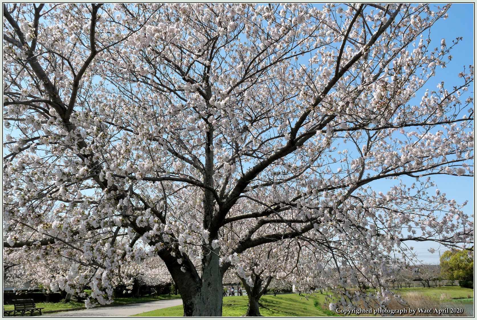 桜新幹線と在来線が行ったり来たり_c0198669_17404942.jpg