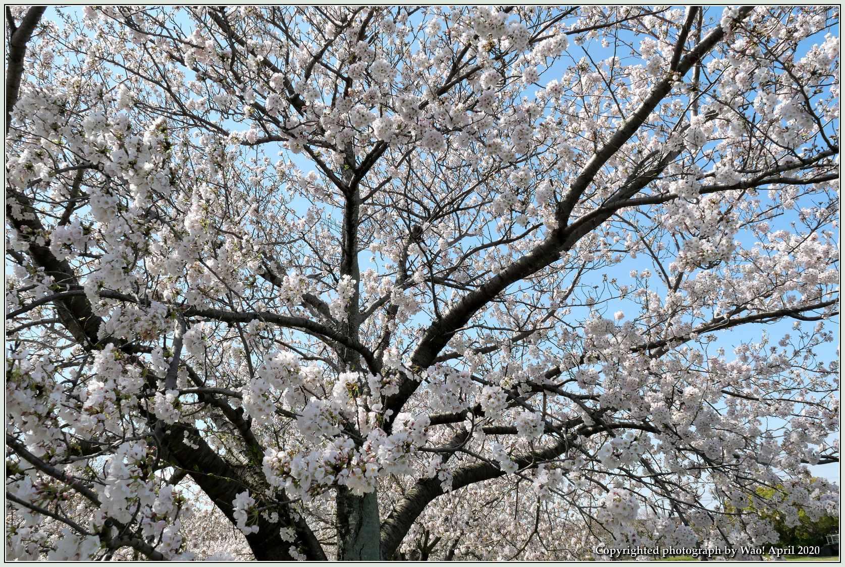 桜新幹線と在来線が行ったり来たり_c0198669_17405147.jpg