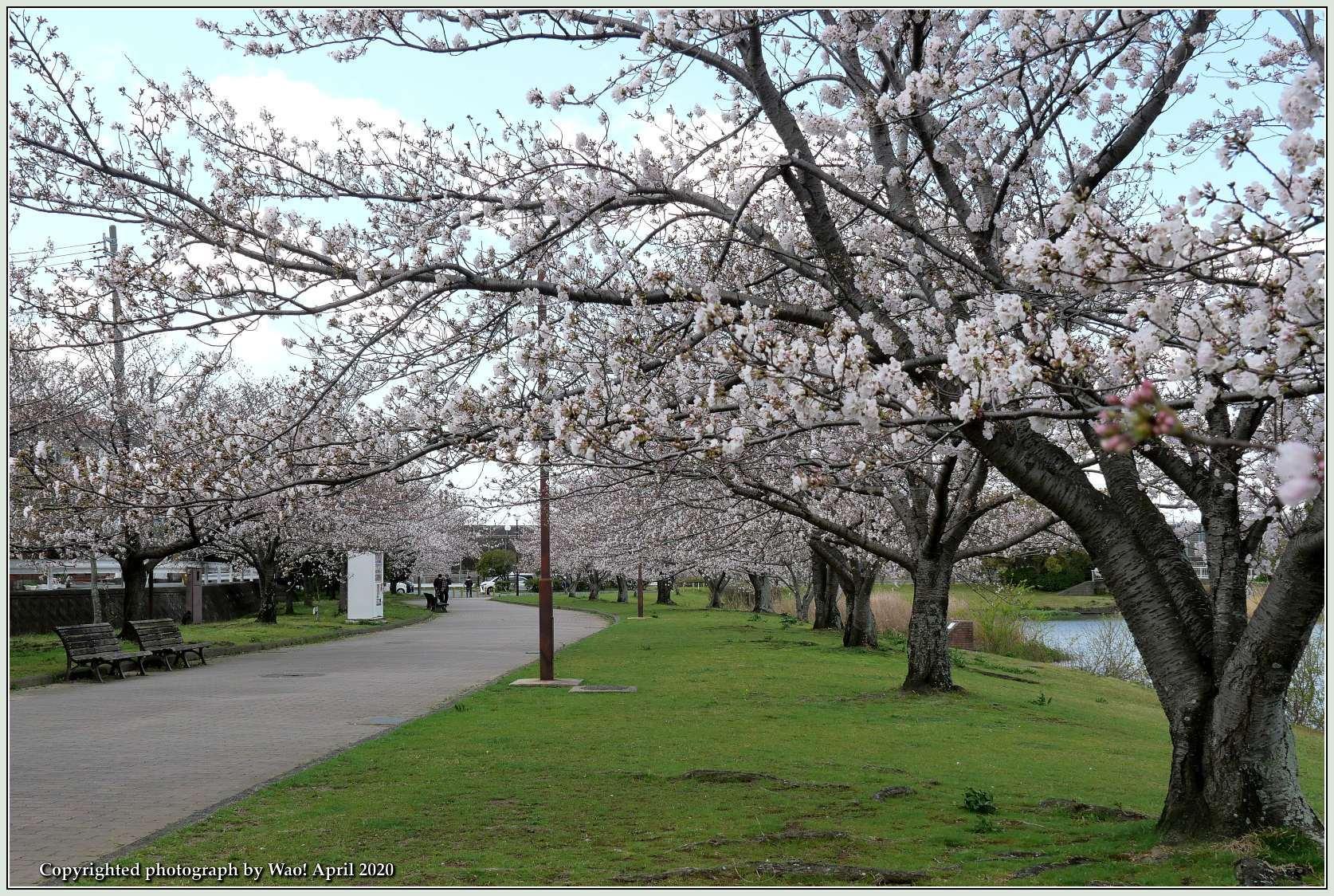 桜新幹線と在来線が行ったり来たり_c0198669_17431316.jpg