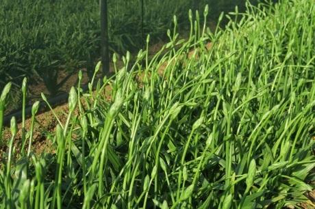 かき菜の花の次はオーニソガラムです_e0292172_07033644.jpeg