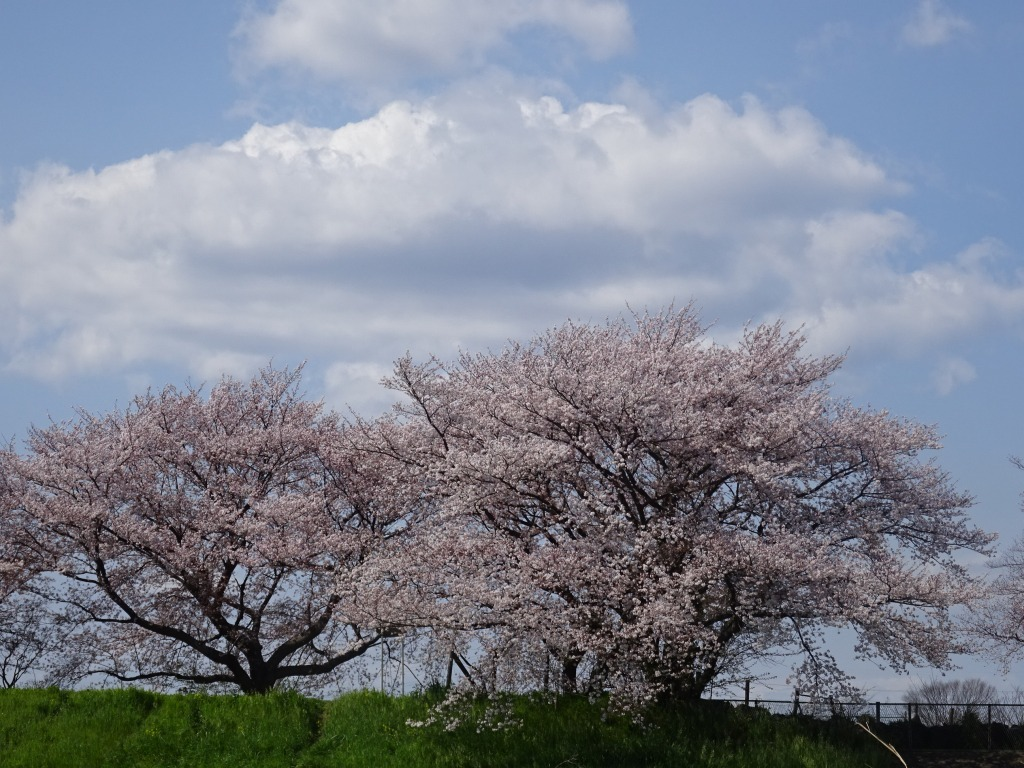 志木花見!2020第二段 近所の柳瀬川にて暴風だった昨日!_d0061678_17484818.jpg