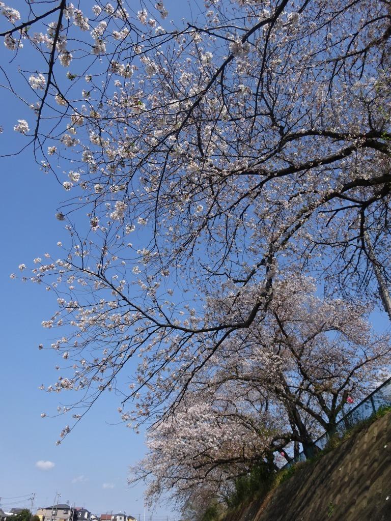 志木花見!2020第二段 近所の柳瀬川にて暴風だった昨日!_d0061678_17500220.jpg