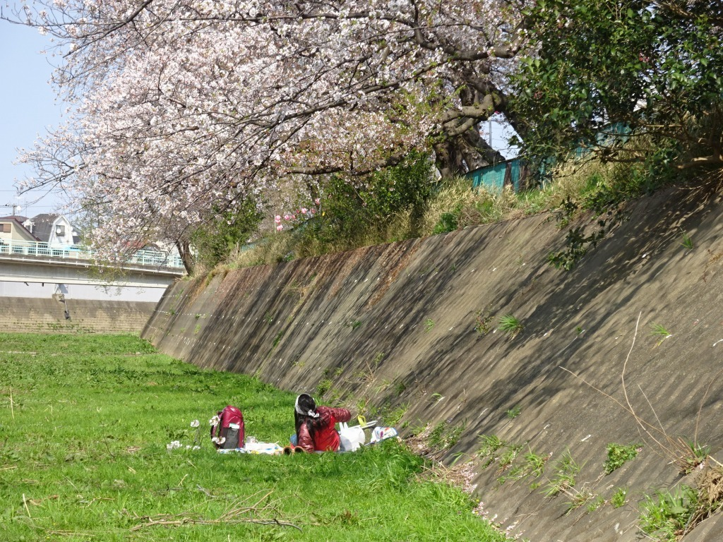 志木花見!2020第二段 近所の柳瀬川にて暴風だった昨日!_d0061678_17505188.jpg
