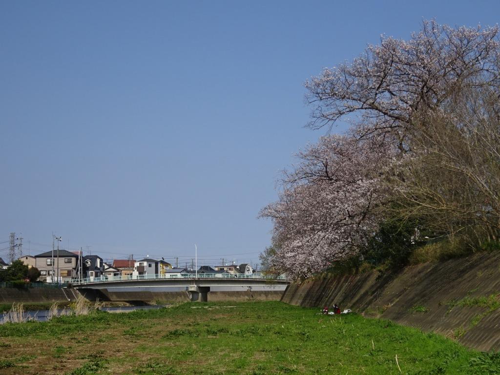 志木花見!2020第二段 近所の柳瀬川にて暴風だった昨日!_d0061678_17510036.jpg