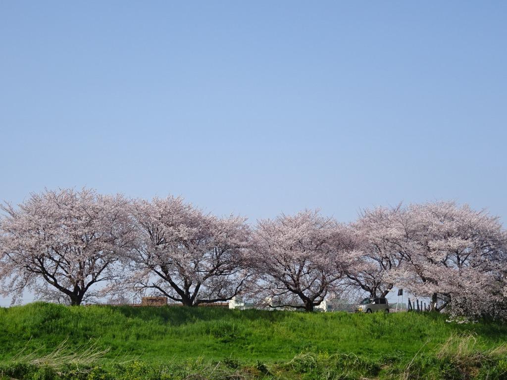 志木花見!2020第二段 近所の柳瀬川にて暴風だった昨日!_d0061678_17510072.jpg
