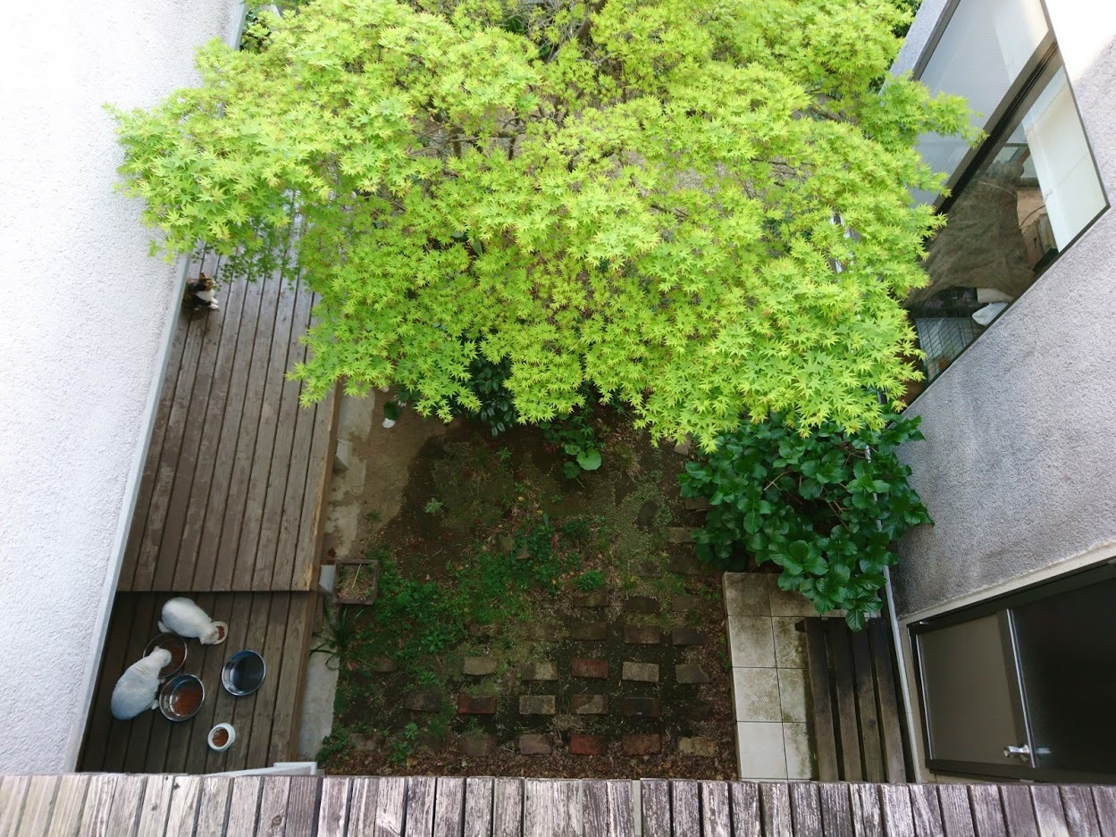 中庭に木陰を作ってくれるモミジ_f0197985_14244753.jpg