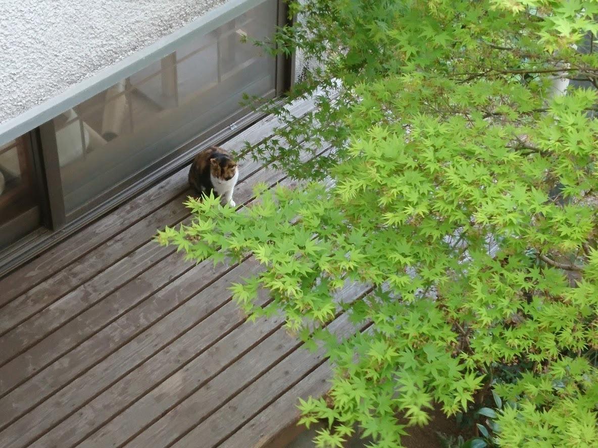 中庭に木陰を作ってくれるモミジ_f0197985_14250067.jpg