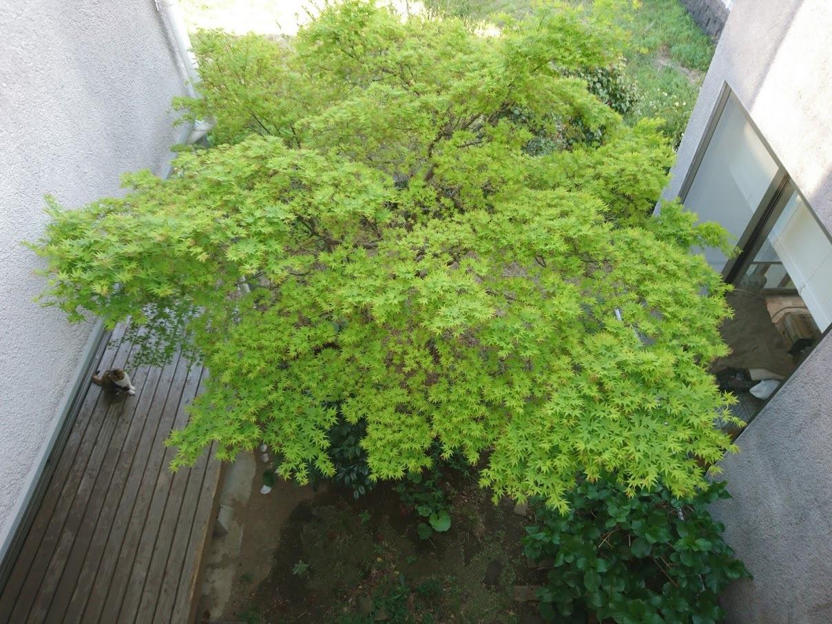 中庭に木陰を作ってくれるモミジ_f0197985_14252900.jpg