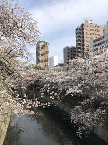 今年の桜_a0075387_16091961.jpg