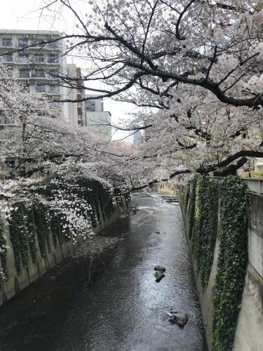 今年の桜_a0075387_16092961.jpg