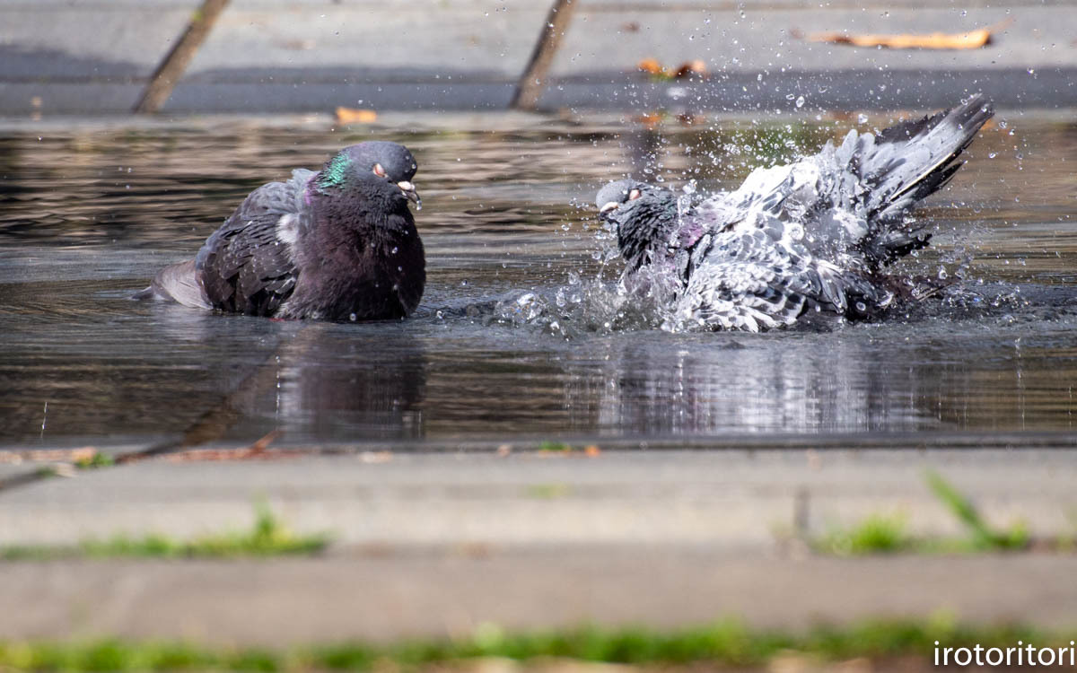 水浴び  (ハト)  2020/04/02_d0146592_00032068.jpg