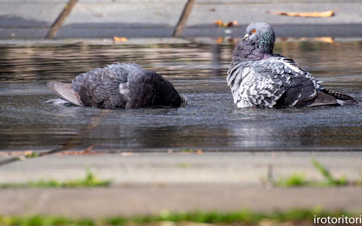 水浴び  (ハト)  2020/04/02_d0146592_00051055.jpg
