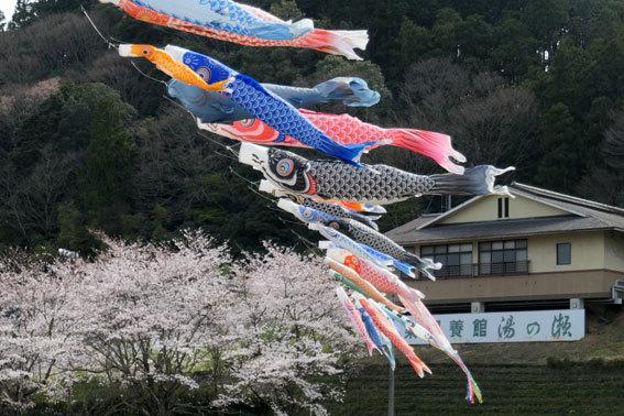 満開の桜にコイ泳ぐ_b0145296_17310864.jpg
