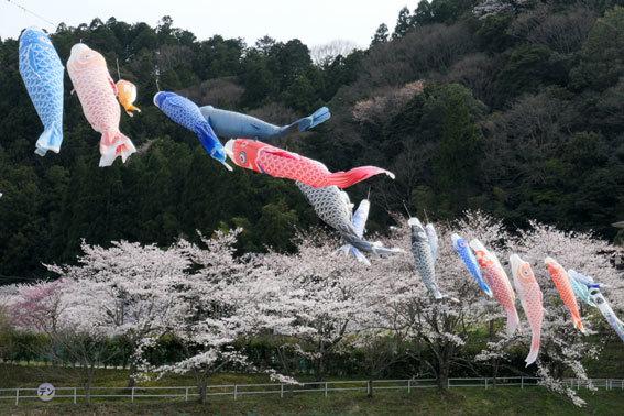 満開の桜にコイ泳ぐ_b0145296_17311437.jpg
