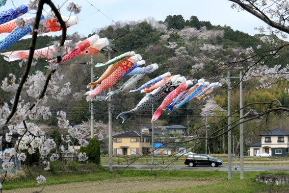 満開の桜にコイ泳ぐ_b0145296_17311708.jpg